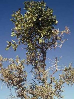 דבקון הזית Viscum cruciatum Boiss.