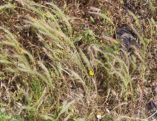 שעלב ריסני Vulpia ciliata Dumort.