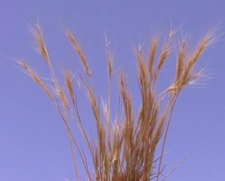 התפרחת אשכול אשון או מכבד מכונס בעל ענפים מועטים.