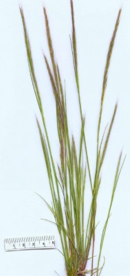 שעלב מצוי Vulpia myuros (L.) C.C.Gmel.