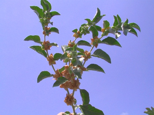 ויתניה משכרת Withania somnifera (L.) Dunal
