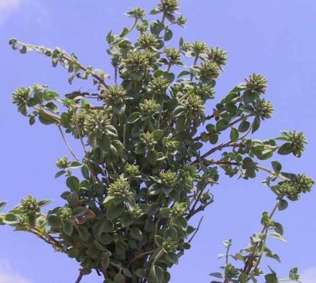 Ziziphora clinopodioides Lam.