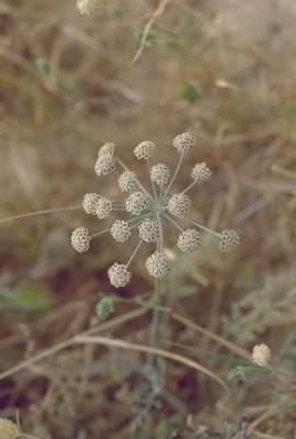 זוזימה מדברית Zosima absinthiifolia (Vent.) Link