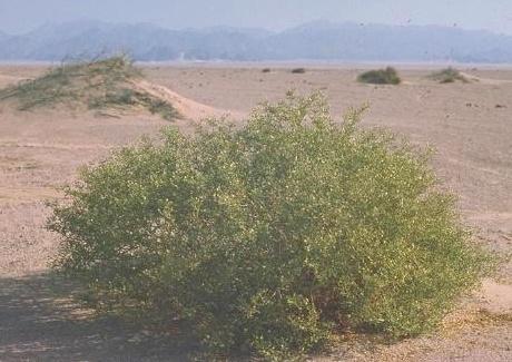 Zygophyllum coccineum L.