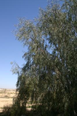 Acacia salicina Lindl.