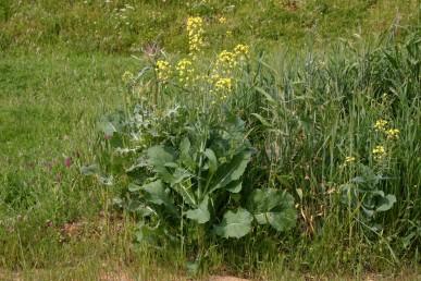 צמחים חד-שנתיים מכחילים בעלי עלים גדולים. גדל בעיקר בשטחים מופרעים בצדי דרכים.