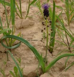 צמחי קרקעות מעובדות, צומח עשבוני ושדות.