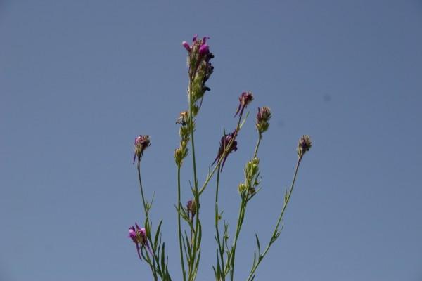 פשתנית יפו Linaria joppensis Bornm.