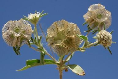 חפי-המעטפת ארוכים מהפרחים (ראה בקרקפת הימנית והעליונה בהן הפרחים צעירים.