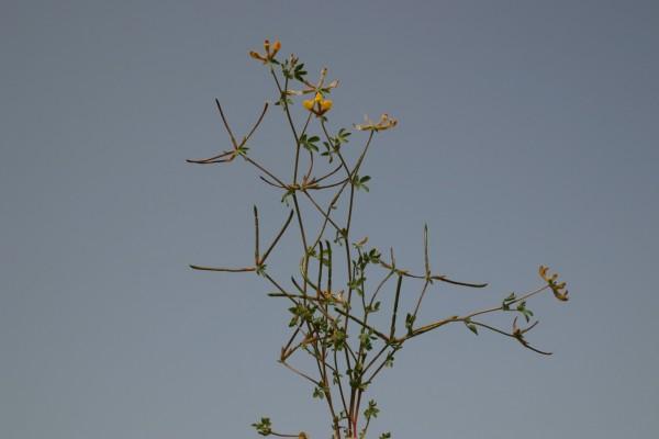 לוטוס שעיר Lotus halophilus Boiss. & Spruner
