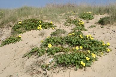 צבע הכותרת צהוב. צמחים הגדלים בעיקר בחוף הים התיכון בחגורת הרסס.