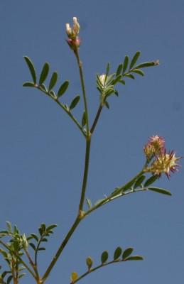 כרבולת קטנה Onobrychis caput-galli (L.) Lam.