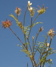צמחים חד-שנתיים. מספר הזרעים בפרי 3; מכל צד של תפר הבטן יש שלושה פתחי נביטה עגולים; אונות הכרבולת בעלות שפה משוננת. צבע הכותרת לבנבן-ורוד.
