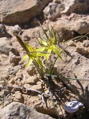 זהבית דקת-עלים Gagea reticulata (Pall.) Schult. & Schult.f.