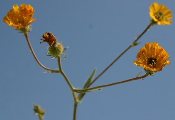 מררית החוף Picris amalecitana (Boiss.) Eig
