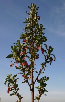 Chenopodium missouriense Aellen
