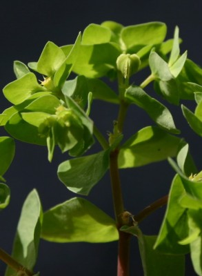 חלבלוב מצוי Euphorbia peplus L.