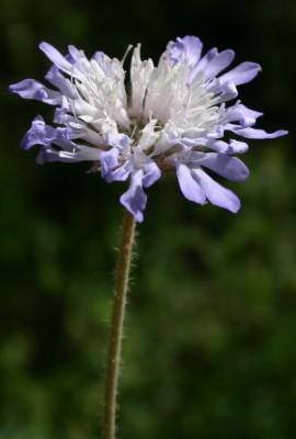 חוגית תמימה Knautia integrifolia (L.) Bertol.