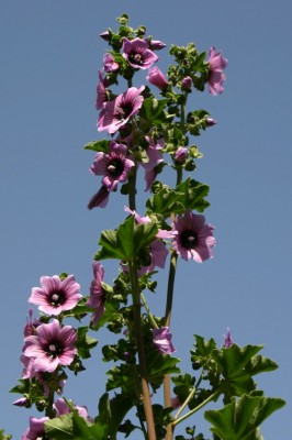 מעוג השיח Lavatera arborea L.