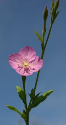 נר-הלילה הוורוד Oenothera rosea Aiton