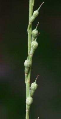 בקבוקון מקומט Rapistrum rugosum (L.) All.