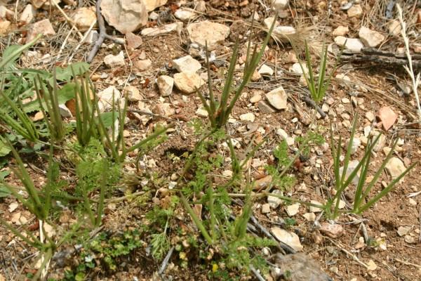 מסרק שולמית Scandix pecten-veneris L.