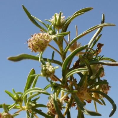נזרית מדברית Sixalix eremophila (Boiss.) Greuter & Burdet