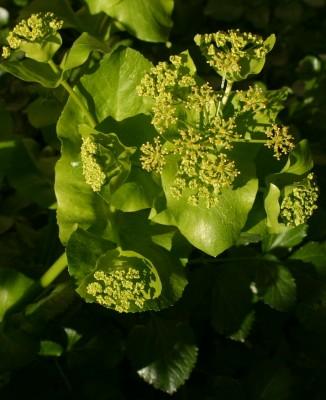 מורית קלוטה Smyrnium connatum Boiss. & Kotschy ex Kotschy