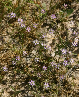 Spergularia diandra (Guss.) Boiss.