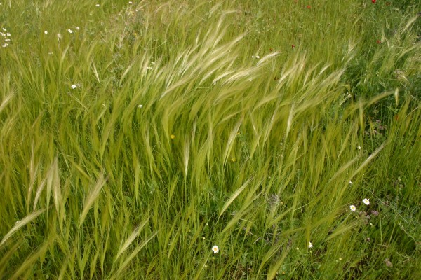 Stipa capensis Thunb.