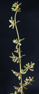 מגנונית פקטורי Callipeltis factorovskyi (Eig) Ehrend.