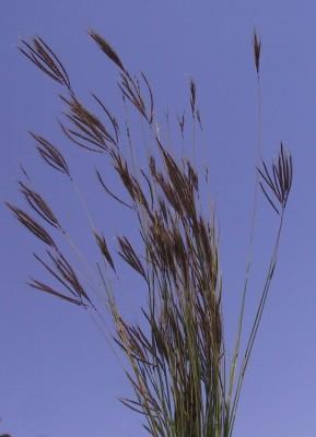 Dichanthium annulatum (Forssk.) Stapf