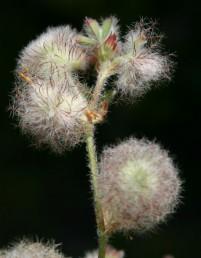 הקרקפת דמויית כדור לבן. החוטים הכהים הנושאים שערות לבנות הם עלי-גביע בפרחים עקרים.