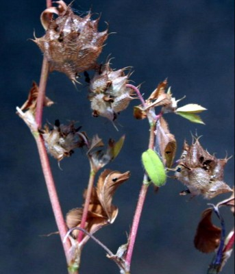 תלתן קלוז Trifolium clusii Godr. & Gren.