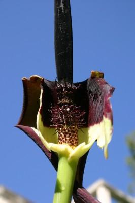 לוף ארץ-ישראלי Arum palaestinum Boiss.