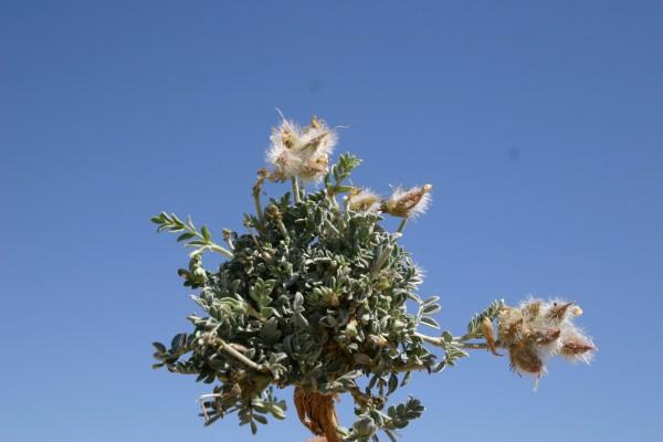קדד הנגב Astragalus amalecitanus Boiss.