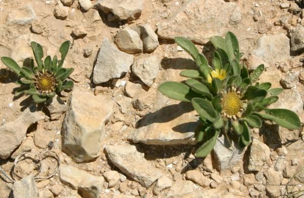 Asteriscus hierochunticus (Michon) Wiklund