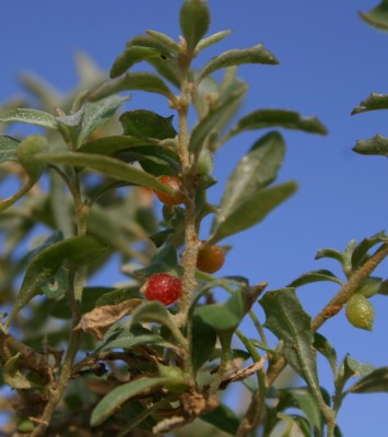 מלוח הענבות Atriplex semibaccata R.Br.