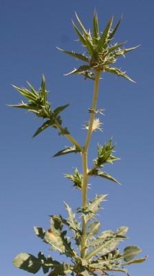 קורטם פרסי Carthamus persicus Willd.