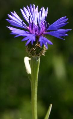 דרדר כחול Centaurea cyanoides Berggren & Wahlenb.