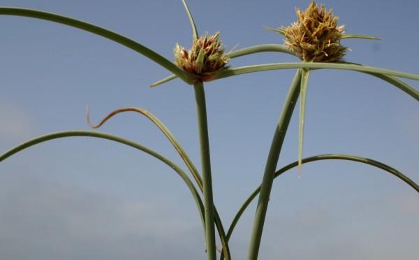 גומא הקרקפת Cyperus capitatus Vand.