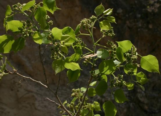 Dalbergia sissoo Roxb.
