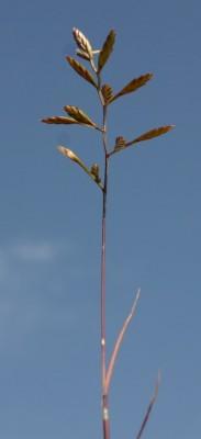 אדמדמית פלשתית Desmazeria philistaea (Boiss.) H.Scholz