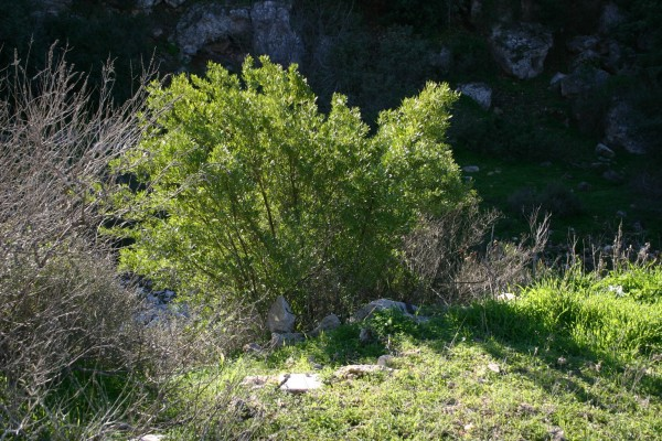 דודוניאה דביקה Dodonaea viscosa L.