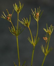 אורך הכותרת כאורך השחלה, צבעה ארגמן. קבוצות הפרחים אינן צפופות, עוקצי הקבוצות ארוכים.