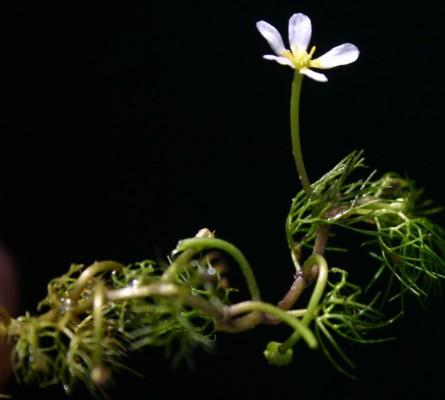 Ranunculus trichophyllus Chaix