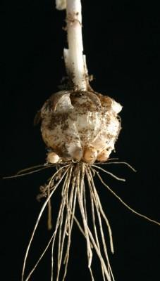 שום קצר Allium curtum Boiss. & Gaill.