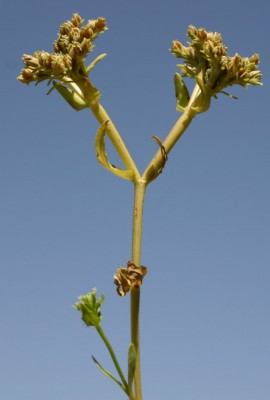 Valerianella orientalis (Schltdl.) Boiss. & Balansa