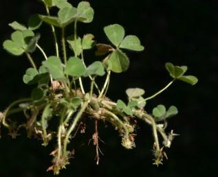לאחר הפריחה מתארך עוקץ התפרחת והקרקפת חודרת לקרקע בסיוע פרחים עקרים.