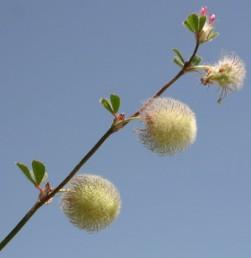 מרביתו של כדור התפרחת עשוייה פרחים עקרים. קוטר הקרקפת 18-12 מ